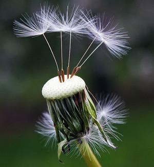 Сказка про одуванчик который боялся ветра