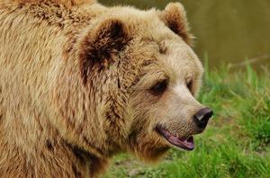 почему медведь косолапит